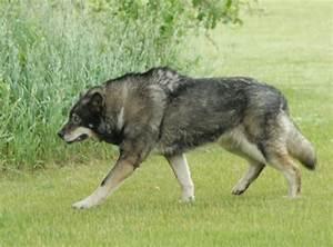 Wolf Hybrid - Taringa!
