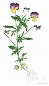 """Johnny Jump Up - Viola tricolor"" by Sue Abonyi Redbubble"