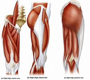 Muscle Diagram Unlabeled