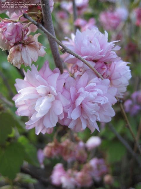 flowering almond plantfiles pictures pink flowering almond dwarf flowering almond rosea plena prunus
