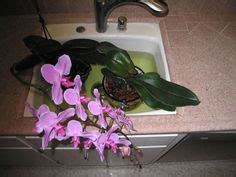 how can i get my orchid to bloom again 1000 images about house plants on pinterest indoor house plants house plants and money tree