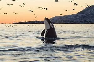 5 Surprising Facts About Orcas