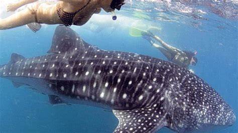 experience  day whaleshark interaction  donsol sorsogon