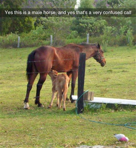 Calves Meme - funny pictures of the day 55 pics