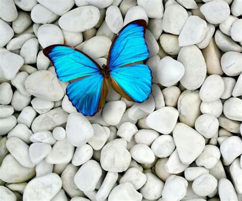 Butterfly And Stones by Beautiful Blue Butterfly Surrounded By White Rocks