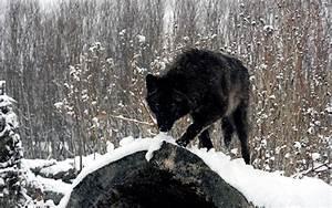 Lobos | La Exuberancia de Hades