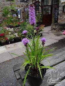 Liatris Spicata Kobold : liatris spicata from burncoose nurseries ~ Watch28wear.com Haus und Dekorationen