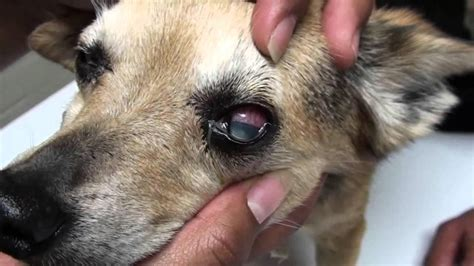 symptoms of going blind learn more about your pet health in our dorzolamide