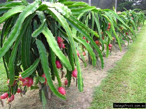 Dragon Fruit  Pitaya  Hylocereus Sp