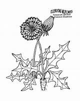 Dandelion Coloring Pages Colouring Herbs Drawing Printable Clip Blowing Dandelions Sheets Colonial Plants Flowers Unit Thekidzpage Silhouette Printables Felicity Study sketch template
