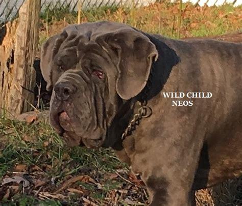 top quality neapolitan mastiff puppies for sale adoption rescue neapolitan mastiff pups 4 sale
