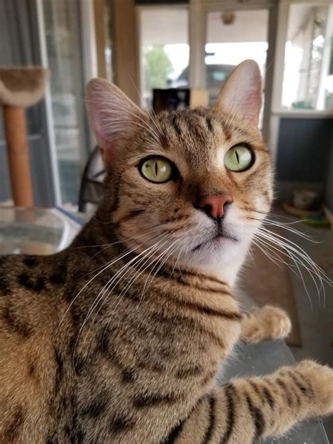 Savannah Cat Rescue  Home Facebook