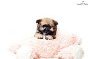 Teacup Shorkie Puppy