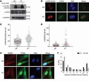 Polymerase  U03b4 Mutation Leads To Replication