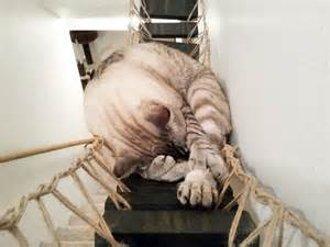 cat bridge yes this is an indiana jones rope bridge but for cats
