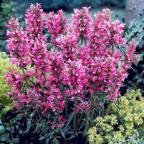 agastache flower agastache plant collection buy plug plants vegetable seeds flowers seeds plants suttons