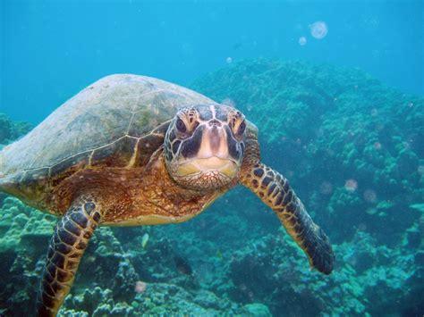 Viewing Green Sea Turtles On Kauai's South Shore
