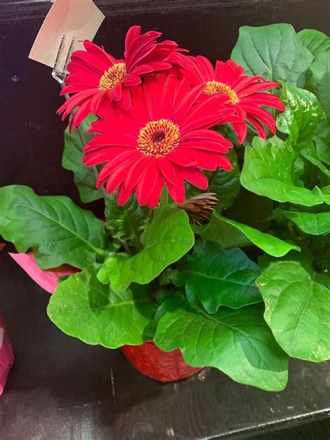 Plant - Gerbera Daisy - Angelos Italian Bakery & Market