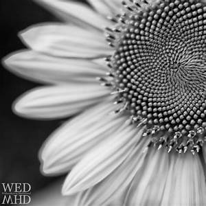 Sunflowers in Black and White - Marblehead, MA