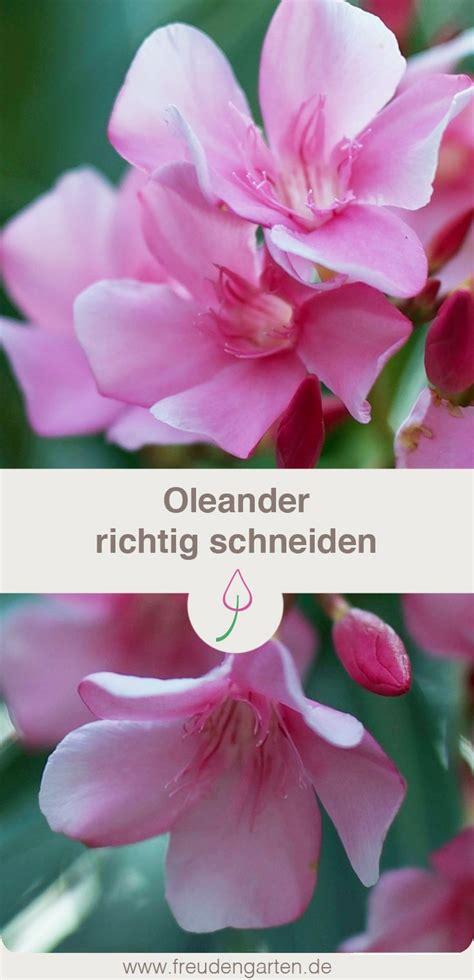 oleander zurückschneiden im herbst oleander schneiden gardening how to garten landschaftsbau garten garten ideen
