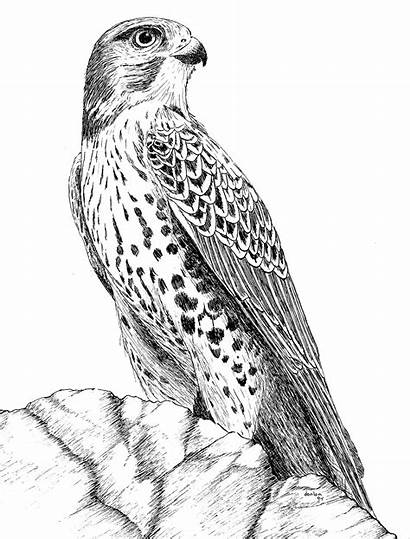 Hawk Drawing Ink Pen Drawings Bird Coloring