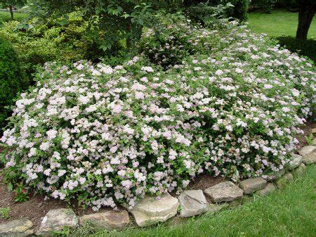 Small Evergreen Bushes For Landscaping  The Best