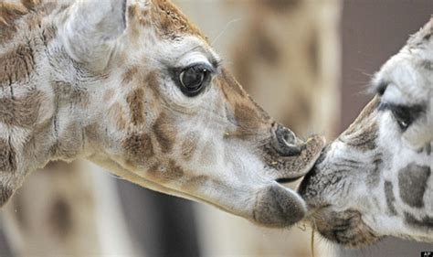 amazing pictures  animals kissing   page