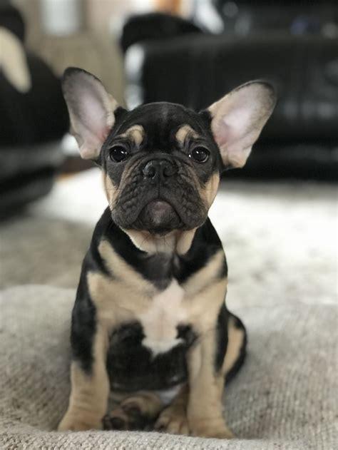 black  tan french bulldog french bulldog puppies