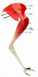 Getting A Leg Up  Big Flightless Bird Limbs