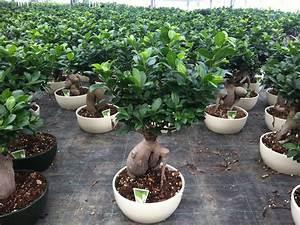 Bonsai Ficus Ginseng : bonsai ficus ginseng 750 g ceramic pot 25 succulents cactus and bonsai florpagano di antonio ~ Buech-reservation.com Haus und Dekorationen