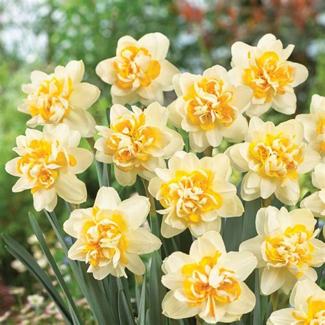 narcissus cobbler daffodil bulbs thompson