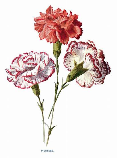 Carnation Clipart Carnations Clip Flower Flowers Painting