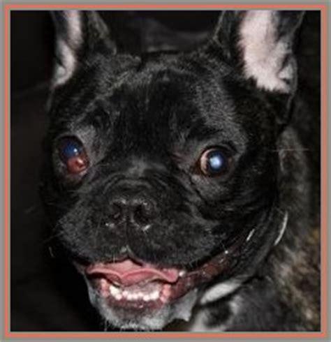 si e social l oeil si mon chien a une boule qui sort de l 39 oeil