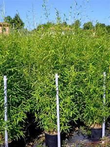 Pot Pour Balcon : bambou en pot pour terrasses et balcons vente v g taux ext rieurs ~ Teatrodelosmanantiales.com Idées de Décoration