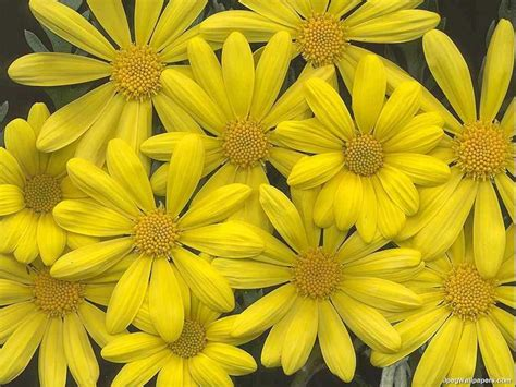 with yellow flowers yellow flowers wallpaper