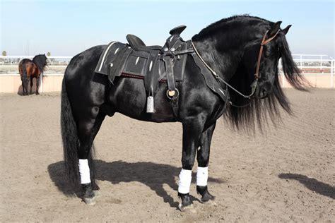 andalusian pre stallion stud horse horses stallions most lusitano heredero california friesian andalusians hair eponaexchange raza pretty pura studs baby