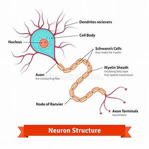 Brain Neuron Cell Diagram Stock Vector  Illustration Of