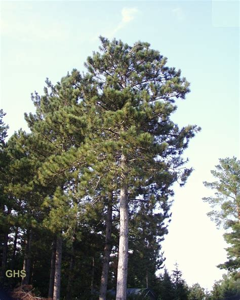 Minnesota Trees For Sale  The Tree Center™. Resume For Administrative Manager Template. Online Templates For Resumes Template. Resignation Letter Templates Word. Scheduling Tools In Excel Template. Cover Letter For Accounting Position Entry Level. Sample Travel Consent Letter Template. Skull And Cross Bones Stencil. Medical Themes For Ppt Template