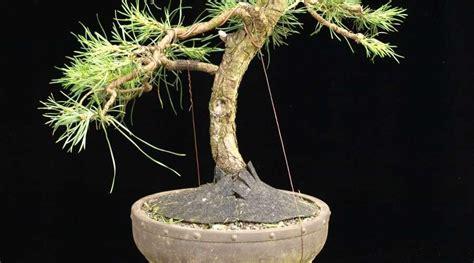 bonsai umtopfen anleitung bonsai unglaublich bonsai z 252 chten anleitung beabsichtigt richtig umtopfen wurzelwerk mit draht