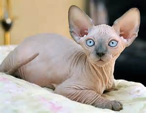 sphynx cat breeders best 10 cats for ideas on kittens