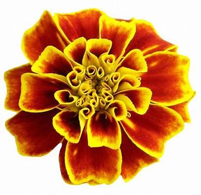 Transparent Flower Flowers Bright Plant Dahlia Pngpix