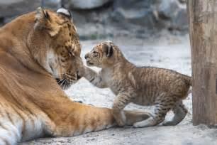 Exotic Hybrid Animals Real