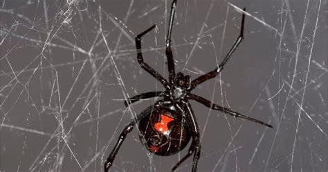cobwebs hold genetic secrets  spiders   prey