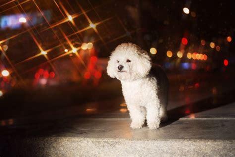 Razze Di Cani Da Appartamento by Cani Da Appartamento Razze American Kennel Club