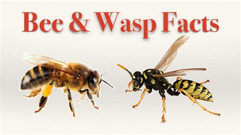 bee  wasp facts youtube