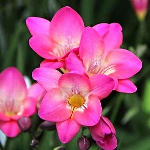 Freesia Pink Rose