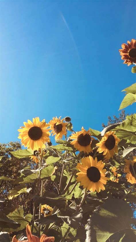 aesthetic sunflower field wallpapers wallpaper cave