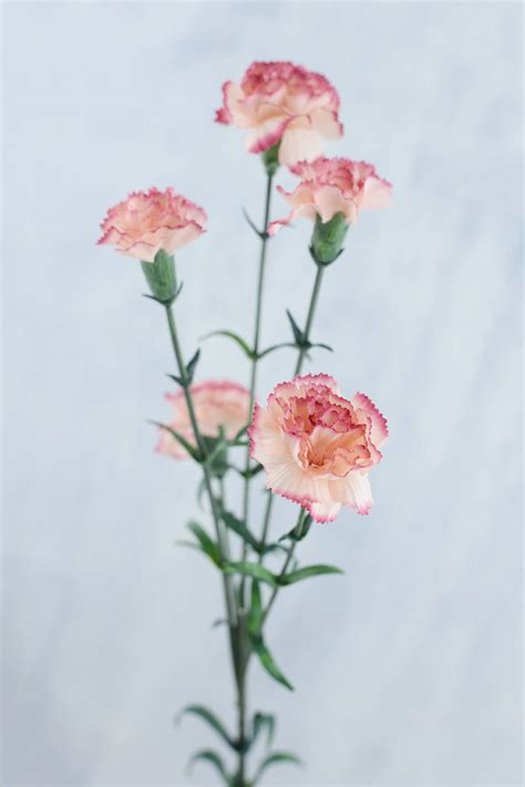 mini carnations peppermint
