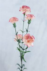 Mini Carnations Peppermint 27 5in