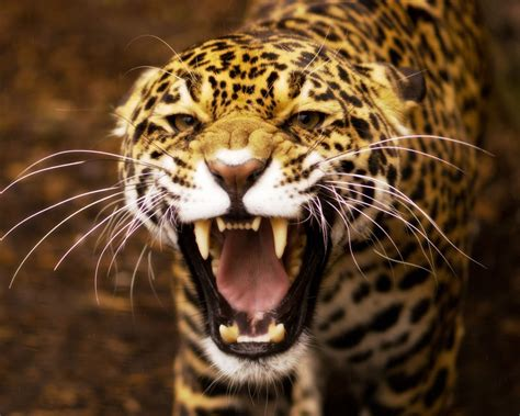 Jaguar Photo by Angry Jaguar Wallpaper 1280x1024 11375